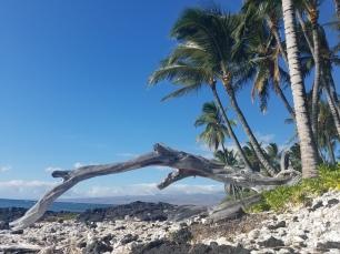 coco driftwood