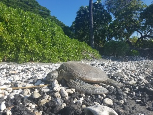 honu friend