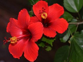 hawaii hibiscus