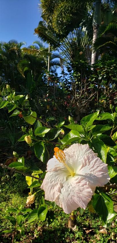 wednesday's hibiscus